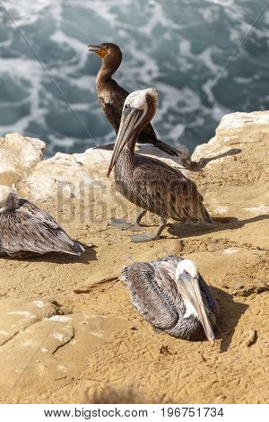 Brown pelican (Pelecanus occidentalis) San Diego California