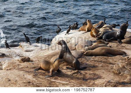 California Sea Lions and Brandt's Cormorants on the rocks at La Jolla Cove San Diego