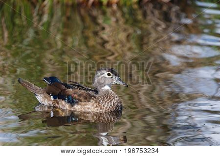 female Wood Duck Floating in the water