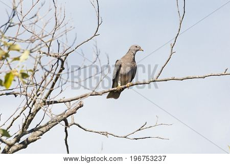 Band tailed pigeon perched on treetop Vancouver Canada