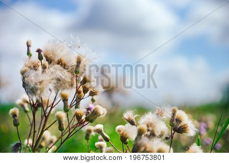 Summer Background, Beautiful Meadow Dandelion Flowers In A Field On A Cloudy Sky.