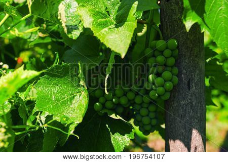 Green Bunches Of Grapes Ripen Under The Sunlight On Branches.