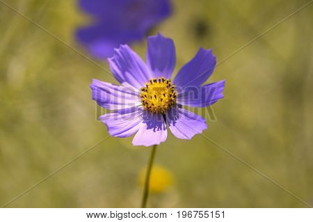 Delicate flowers of the cosmos close-up. A gentle macro flower