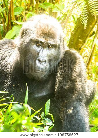 Portrait of adult male eastern gorilla, Gorilla beringei, aka Silverback, in natural habitat. Critically endangered primate. Green jungle forests of Bwindi Impenetrable National Park, Uganda, Africa.