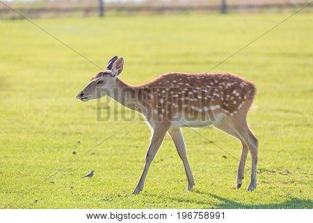 Young deer portrait on green grass field farm