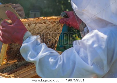The beekeeper holds a beehive frame in his hands. Beekeeper holding with his hands frame of honeycomb from beehive with working honey bees.