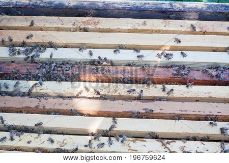Plank with honeycomb in the hive. The bees crawl along the hive. Open bee hive.