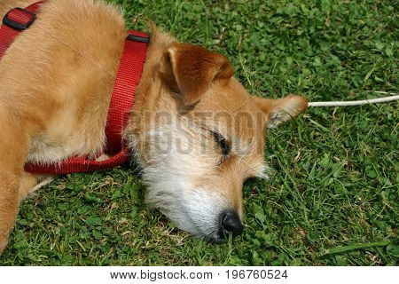 A cute brown and white Jack Russell cross Yorkshire terrier mongrel pet dog asleep on the grass with a red harness.