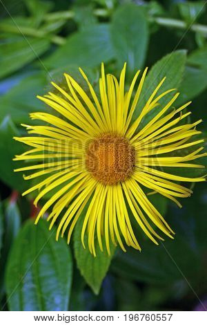 Yellow narrow petalled daisy like flower that looks like an Inula species. Background of leaves.