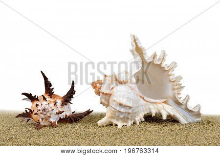 Tropical sea shell on the sand on white background.