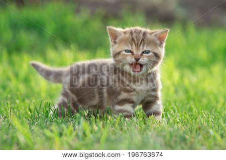 Little kitten cat meowing in the green grass