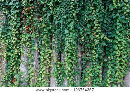 green ivy plant growing on wooden fence