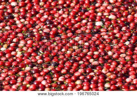 Cranberry harvest in Richmond BC Canada. cranberry bog.