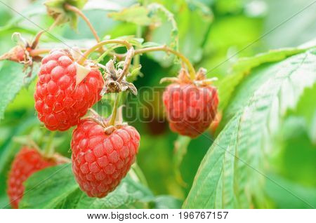 Berries raspberries on a bush bright sunny day