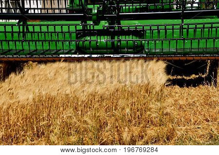 Ripened wheat ready to be cut by the sickle bar of the header of a self propelled combine