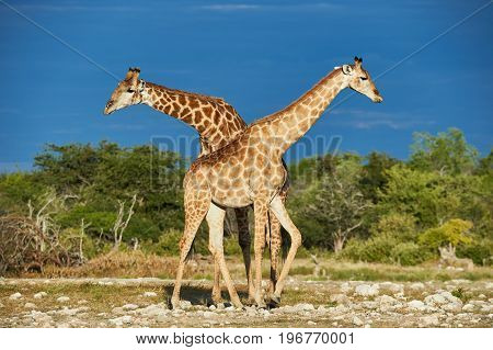 Two beautiful giraffes in African savannah photographed in Namibia
