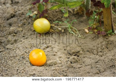 Two Small Yellow Cherry Tomatoes Fell To The Ground In The Garden
