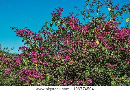 Close-up of pink flowers on top of bushes, near Monte Alegre do Sul. In the countryside of São Paulo State, a region rich in agricultural and livestock products, southwestern Brazil