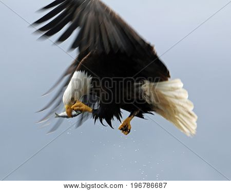 Eagle transferring fish from talons to beak