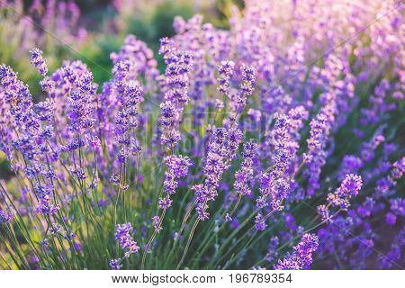 Close up of blooming lavender flowers under the summer sun rays.