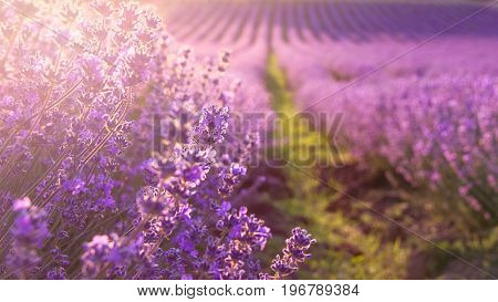 Close up of blooming lavender flowers under the rays of the going down sun.