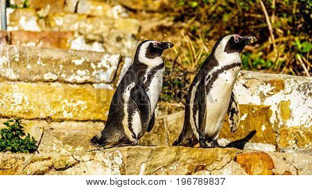 Penguins looking to go down the stairs at Boulders Beach. Boulder Beach is home to a colony of African Penguins, in the village of Simons Town in the Cape Peninsula of South Africa