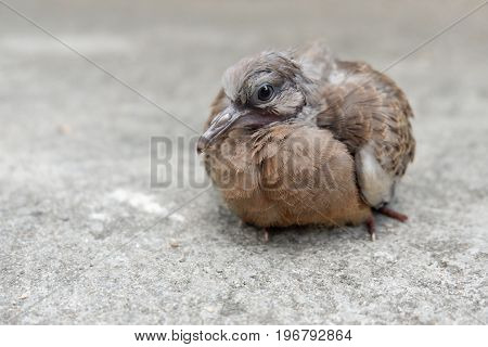 Closed up of Spotted dove or Spotted turtle dove