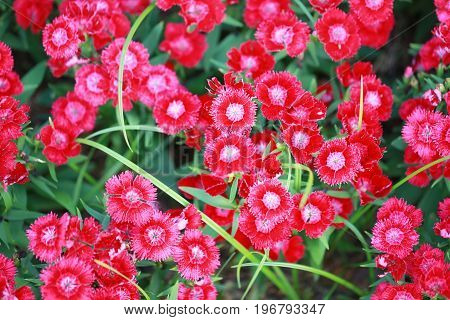 Red Dianthus chinensis flower is species of Dianthus native.