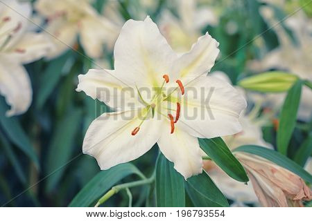 Lily flower of white color bloom in the garden.
