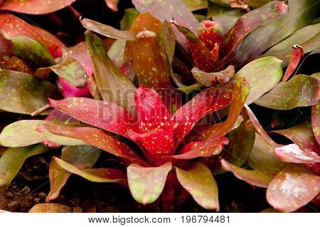 Variegated Red And Green Bromeliad Succulent Plant