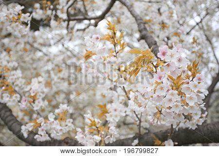 white sakura flower in blooming on tree in the japan garden.