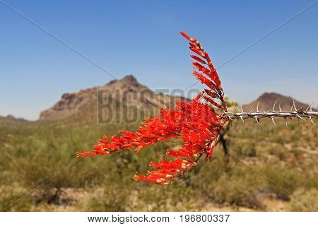 Red ocotillo flower and blue sky copy space with Pinkley Peak in the background in Organ Pipe Cactus National Monument in Ajo, Arizona, USA which is a short drive west of Tucson.