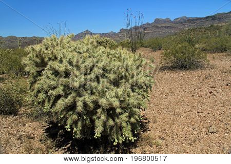 Large Teddybear cactus with blue sky copy space near Tillotson Peak in Organ Pipe Cactus National Monument in Ajo, Arizona, USA including a large assortment of desert plants, which is a short drive west of Tucson.
