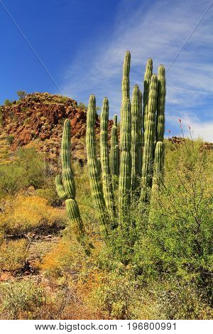 Organ Pipe cactus and blue sky copy space near Tillotson Peak in Organ Pipe Cactus National Monument in Ajo, Arizona, USA including a large assortment of desert plants, which is a short drive west of Tucson.