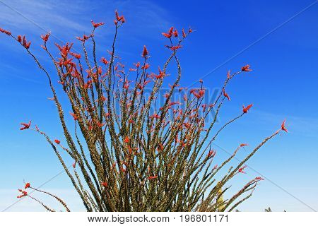 Large Ocotillo cactus with red blooms and blue sky copy space in Organ Pipe Cactus National Monument in Ajo, Arizona, USA which is a short drive west of Tucson.