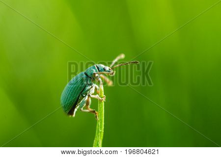 Beetle - Phyllobius virideaeris. A beetle of emerald color sits on the top of a blade of grass. The background is bright green.