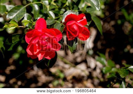 Rosaceae Rosa - Flower Carpet Appleblossom - Red Roses On Bush