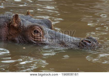 Hippopotamus (Hippopotamus amphibius). Wildlife animal.