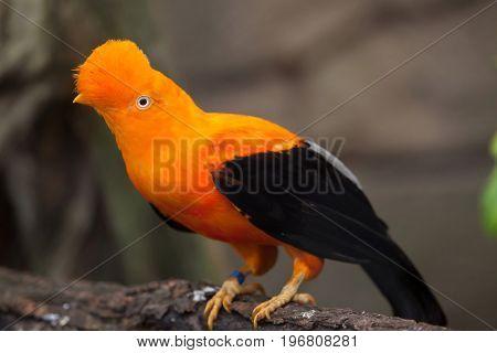 Andean cock-of-the-rock (Rupicola peruvianus), also known as tunki.