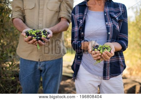 Mid section of couple holding harvested olives in farm