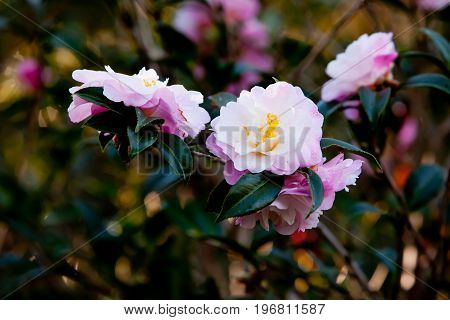 Beautiful Delicate Pink Flowers Of The Theaceae Camellia X Vernalis - Star Above Star Common Name