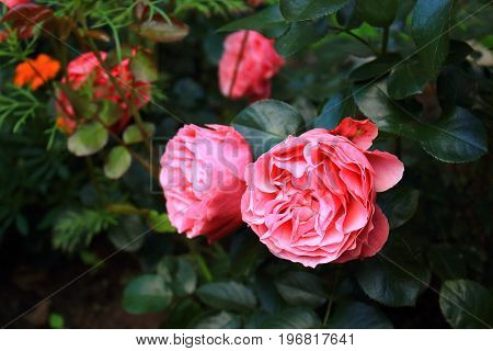 Beautiful pale pink roses. A lot of beautiful pink spray roses. Pink Roses Bushes on the bushes in the garden. Rosebush, rose tree. Landscaping. Caring for garden roses shrubs