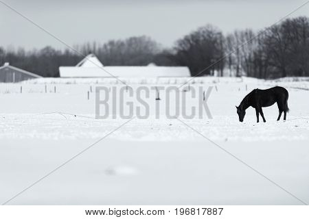 Old Black And White Photo Of Solitary Horse Standing In Snowy Meadow.