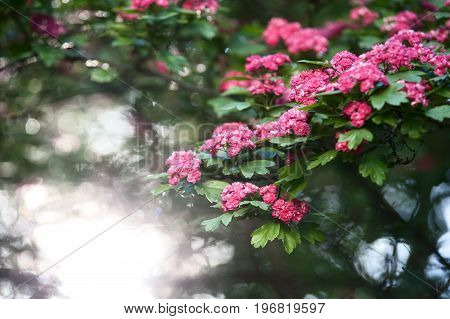 Pink flowering tree. Spring, summer background. Juicy pink red flowers on a background of green foliage. Flower pattern.
