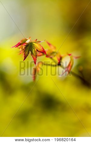 Acer palmatum small leaf at blurred background.