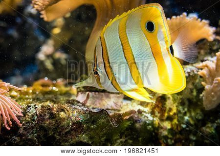 Yellow striped fish floating in ocean saltwater.