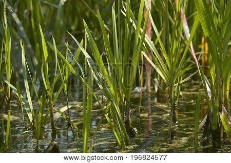 Grass In The Pond