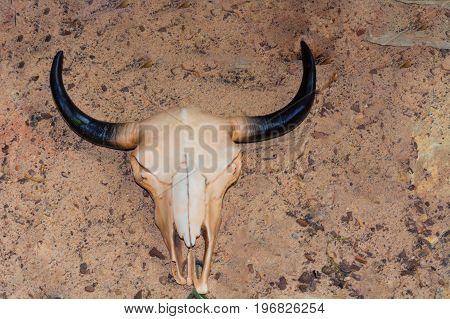 Cow skull with horns cattle bull head on dry sand in the desert.