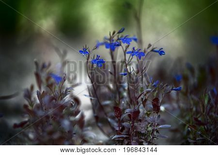 lobelia. Small blue flowers, macro. Mystical photo, dream, mystery. Background to the mysterious
