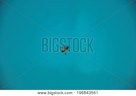 Close-up of a bee on top of the water, near Monte Alegre do Sul. In the countryside of São Paulo State, a region rich in agricultural and livestock products, southwestern Brazil